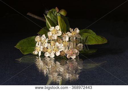 The Blossom Of Black Rowanberry On Black Background With Reflection. White Flower At Spring Length O