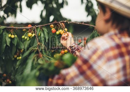 Little Caucasian Boy With A Hat Eating Cherries From The Tree Held By His Parents