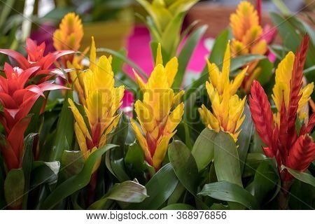 Vriesea (vriesea Bromeliaceae) Is A Tropical Ornamental Plant With Exotic Flowers Of Various Colors.