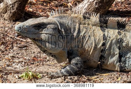 Big Tropical Lizard Relaxing Alone In The Ancient Mayan City Of Tulum In Quintana Roo, Mexico.