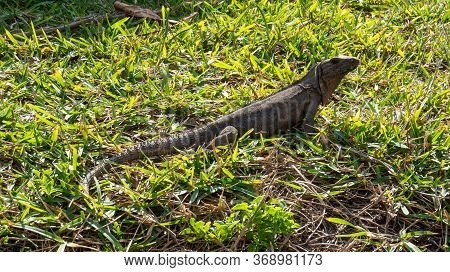 Cute Tropical Lizard Under The Bright Sunlight Relaxing In The Grass Of The Ancient Mayan City Of Tu