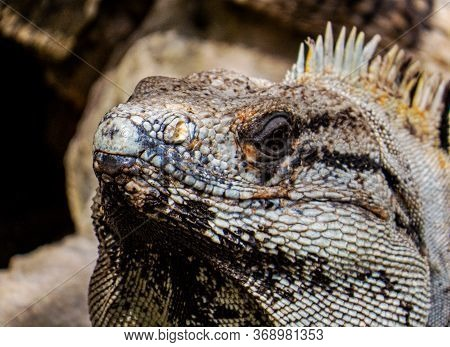 Face Of A Tropical Lizard With Sunlight Of His Scales Relaxing Inside The Ancient Mayan City Of Tulu