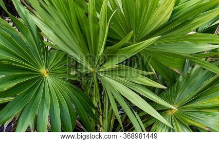 Green Tropical Leaves From The Inside Of The Ancient Mayan City Of Tulum In Quintana Roo, Mexico.