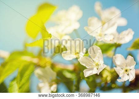 Apple Blossom Photo.flowers Of Apple With Green Leaves Against The Blue Sky. Blossom Apple. Spring F