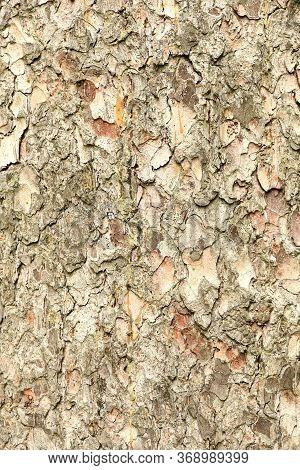 Close-up Of Bark. Old Spruce. Texture Spruce.  Spruce Bark.