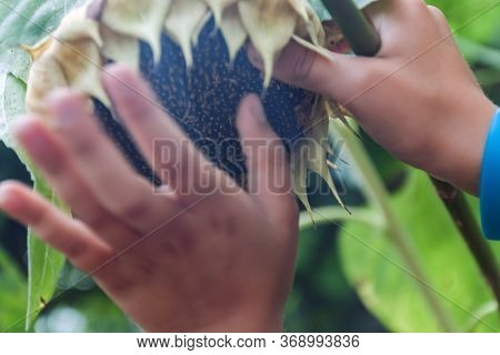 Cropped Childrens Hands Collect Sunflower Flower Seeds,