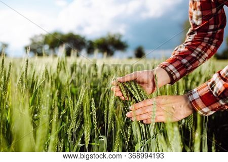 Farmer Touches The Spikelets Of Young Green Wheat And Checking The Ripeness Level Of The Harvest. Ag