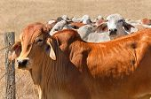 Australian beef cattle herd brown brahman cows live animals on ranch poster