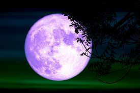 Super Full Purple Moon And Silhouette Tree In The Night Sky