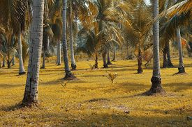 Coconut Is An Important Economic Plant That Can Be Used In All Parts
