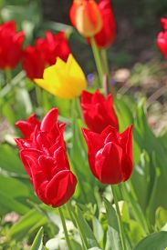 Red And Yellow Tulip Flowers In Spring