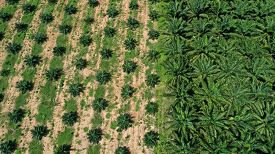 Palm oil plantation aerial photo
