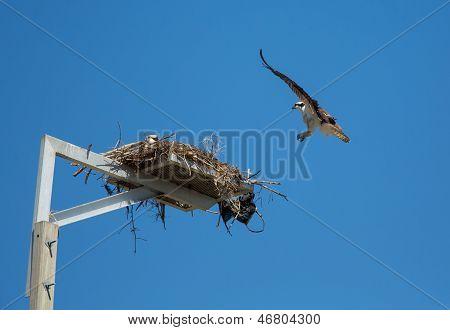 Osprey Returning Home