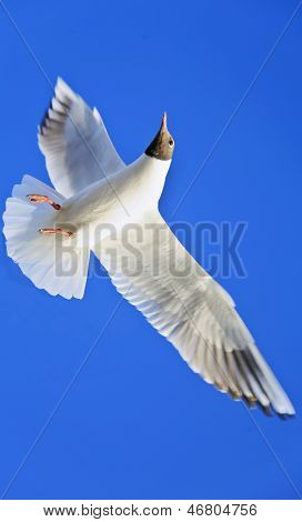 Seagull Rich Blue Cloudless Sky