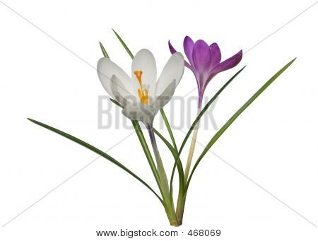 Crocus-two