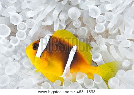 Anemone fish in Bleached Anemone
