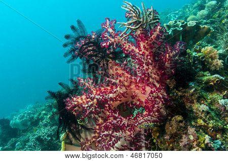 Lembeh Strait  Soft Corals
