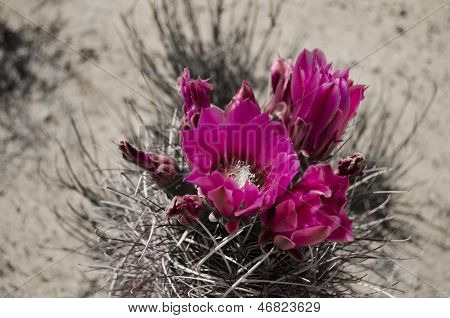 close up of a blooming cactus flower poster