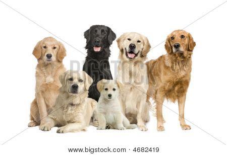 Group Of 6 Golden Retriever And Labrador Facing The Camera