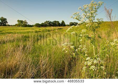 wild hemlock plant, Kansas pasture
