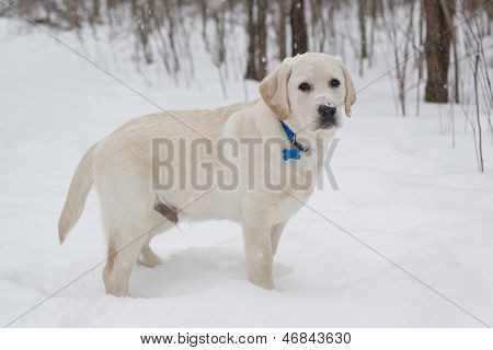 Big Yellow Lab Puppy Standing In The Snow
