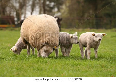 Spring scene: Mother sheep and three little lambs poster