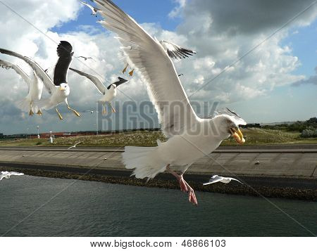 Seagull With Food In The Pecker