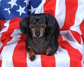 dachshund with flag poster