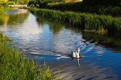 Graceful swan swimming down the centre of a canal and sending out ripples near Taunton Somerset poster