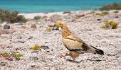 Egyptian Vulture (Neophron percnopterus), Socotra island poster