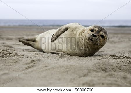 Harbor seal lying at the beach of Helgoland poster