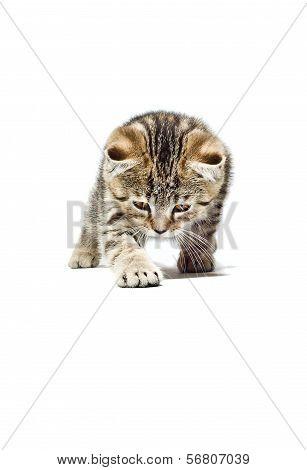 Crouching Kitten Scottish Straight breed