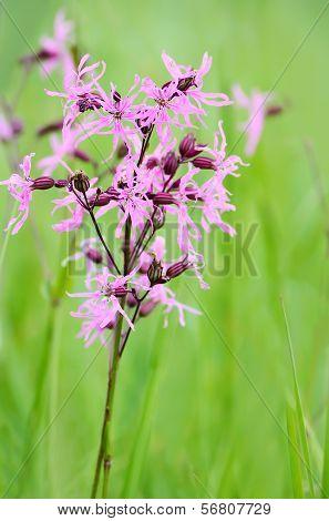 Coronaria flos-cuculi (Lychnis flos-cuculi) flower close up view poster