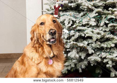 A Golden Retriever at Christmas