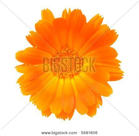Flower Of A Calendula