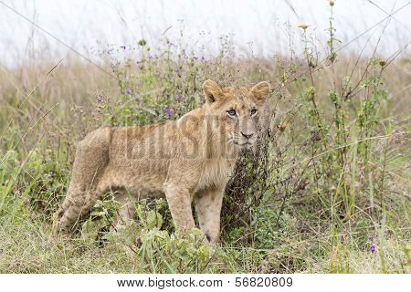 Young lion in the savanna