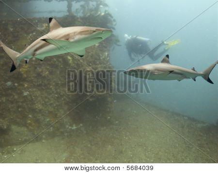 Sharkwreck