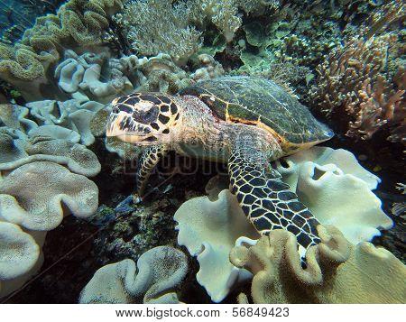 Sea turtle on coral reef underwater
