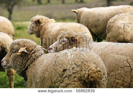 Sheep portugal