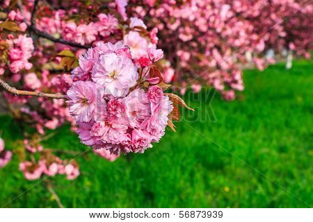 Pink Flowers Of Sakura Branches Above Grass