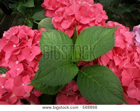 Hydrangea Leaves And Flowers