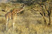 Pair of Reticulated Giraffes ( Giraffa Camelopardalis reticulata) eating acacia leaves in Samburu National Reserve Kenya East Africa poster