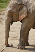 Profile shot of an adult elephant. Horizontal. poster