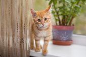 Little orange kitten stands on the windowsill poster