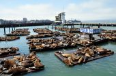Sea lions on pier 39 in San Francisco, USA. poster
