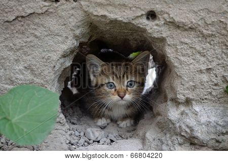 Wee  gray tabby kitten hiding in the hole walls