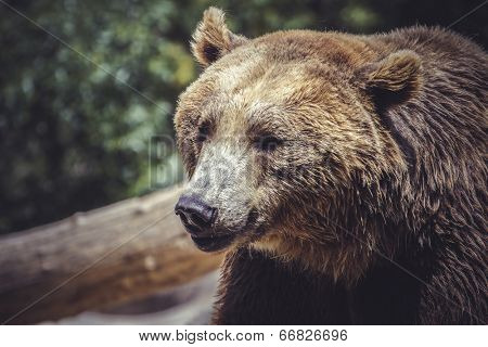 brown bear, majestic and powerful animal