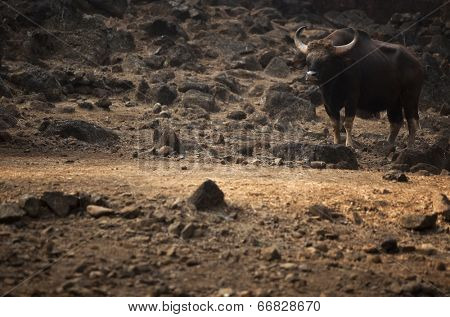 Buffalo on dark background with copyspace poster