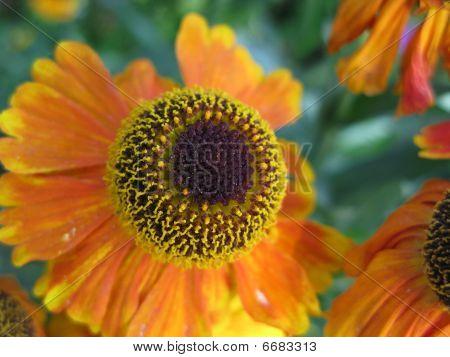 Gaillardia Flower Head