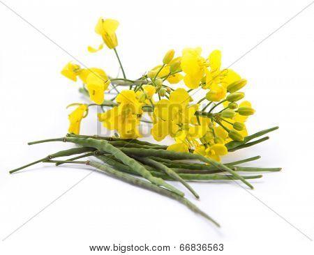 Rape flower on white table